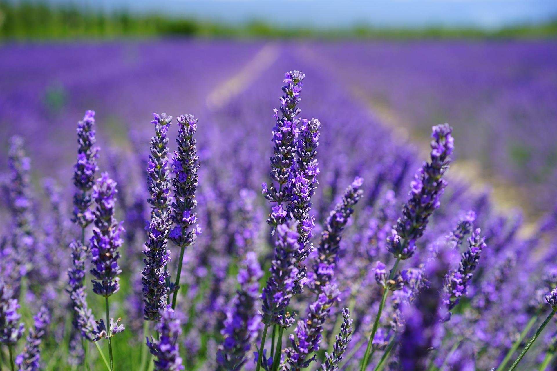 Dieses Bild hat ein leeres alt-Attribut; sein Dateiname ist lavender-blossom-1595584_1920.jpg.